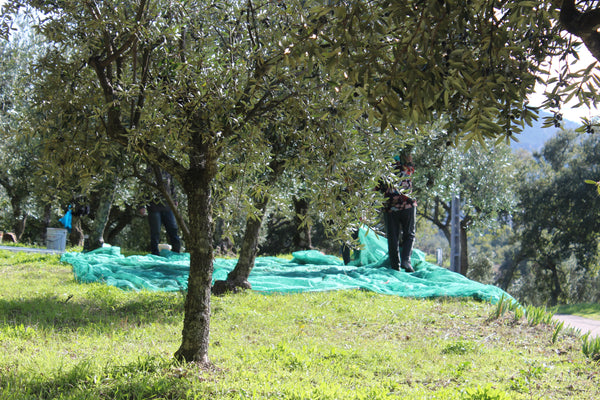 Olive nets placed for hand picking olives in Spain