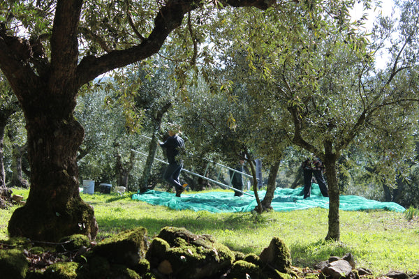 Using a ladder to hand pick olive in Spain