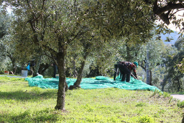 Nets spread under olive trees before hand picking