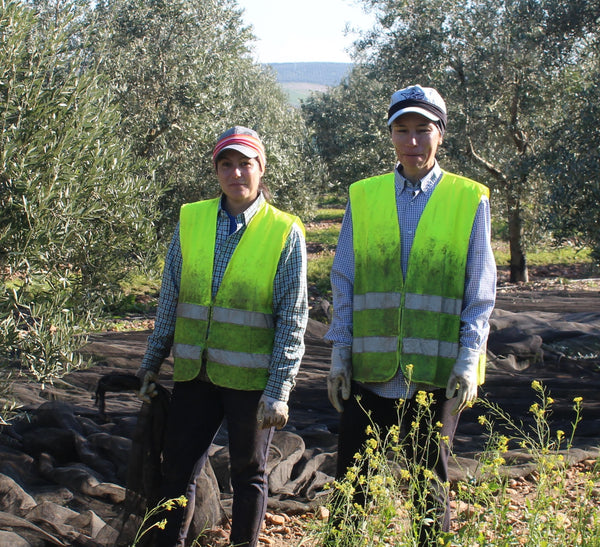 Two olive harvesters working hard near Cordoba, Spain