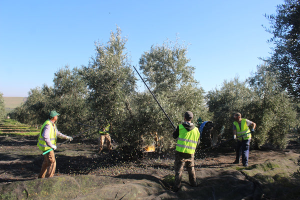 Spanish workers batting the olive trees during harvest