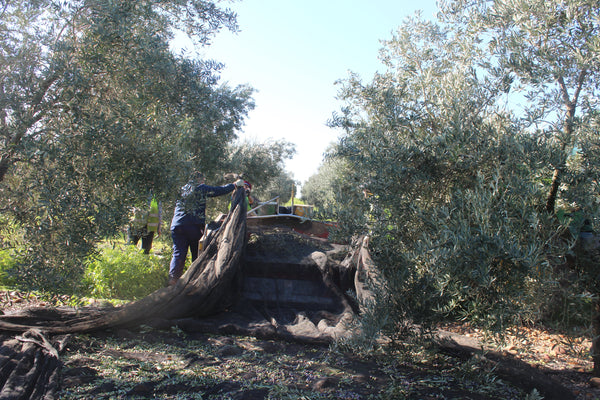 Olive net retrieval in Spain, using a tractor and front end loader with a bin
