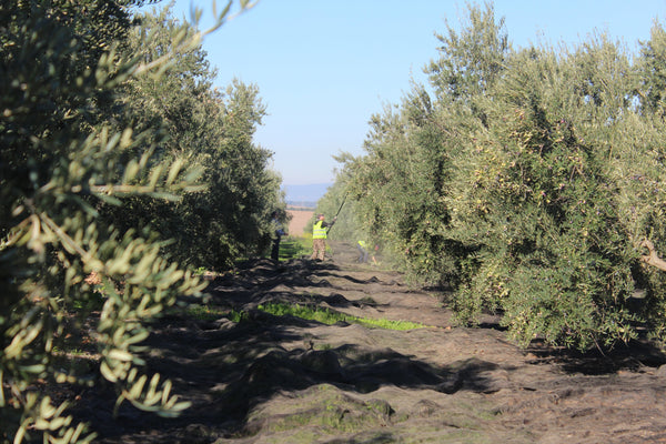 Olive nets laid below trees for harvest in spain