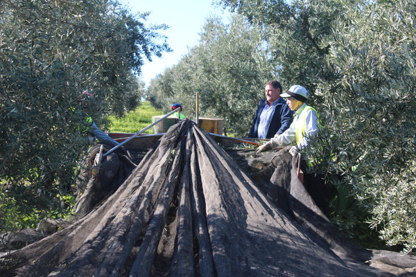 Using nets to harvest olives in Spain - mechanized harvesting