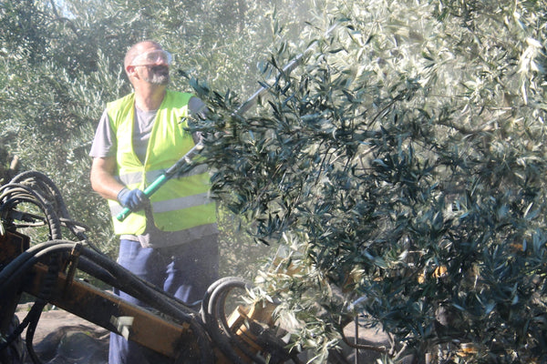 Batting a tree during the harvesting of olives in Spain