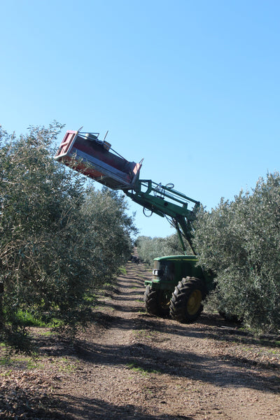 Bin run with a tractor harvesting olives in Spain