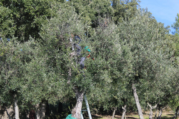 Olive monster in Andalusia eating a picker!