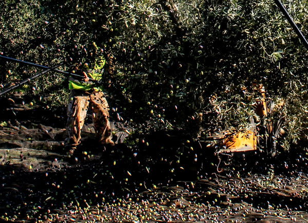 Raining olives!  Harvesting olives for olive oil