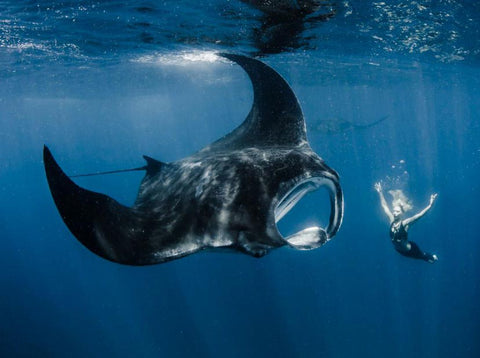 Swimming with a Manta