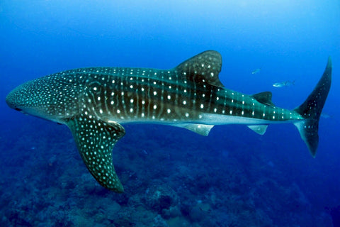 Another Whale Shark
