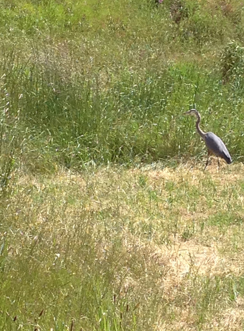 Picture of a Blue Heron at Marin County Civic Center