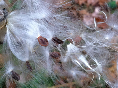 Image description: milkweed fluff and seeds ready to float in the wind
