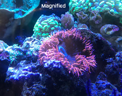 DeepSee Magnified Magnetic Aquarium Viewer 4""