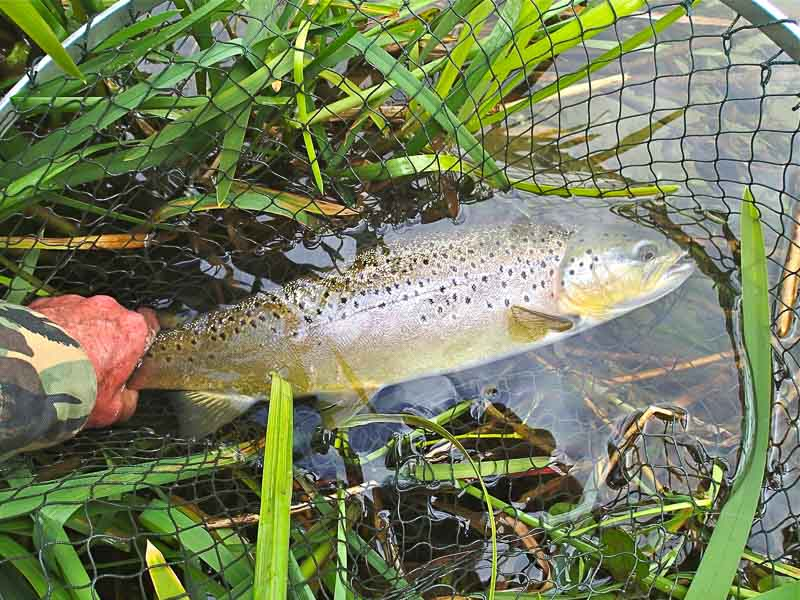 Big trout on an Agapetus  pupa