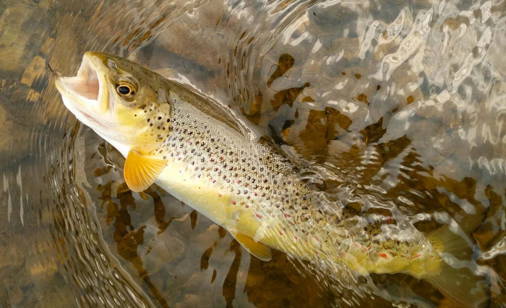 Brown Trout River Eden | Sunray micro thin fly lines