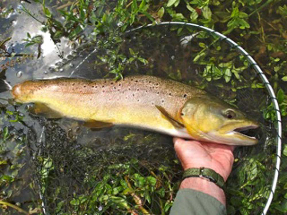 5lb 4oz Brown Trout