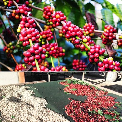 Demystifying the Coffee Label: Washed Versus Natural Coffee!