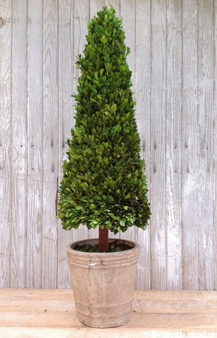 Mills Floral Extra Large 43-inch Preserved Boxwood Cone Topiary - Life onPlum