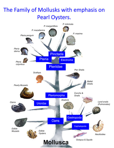 Mollusk Phillogeny and Pearl Oyster Lineage