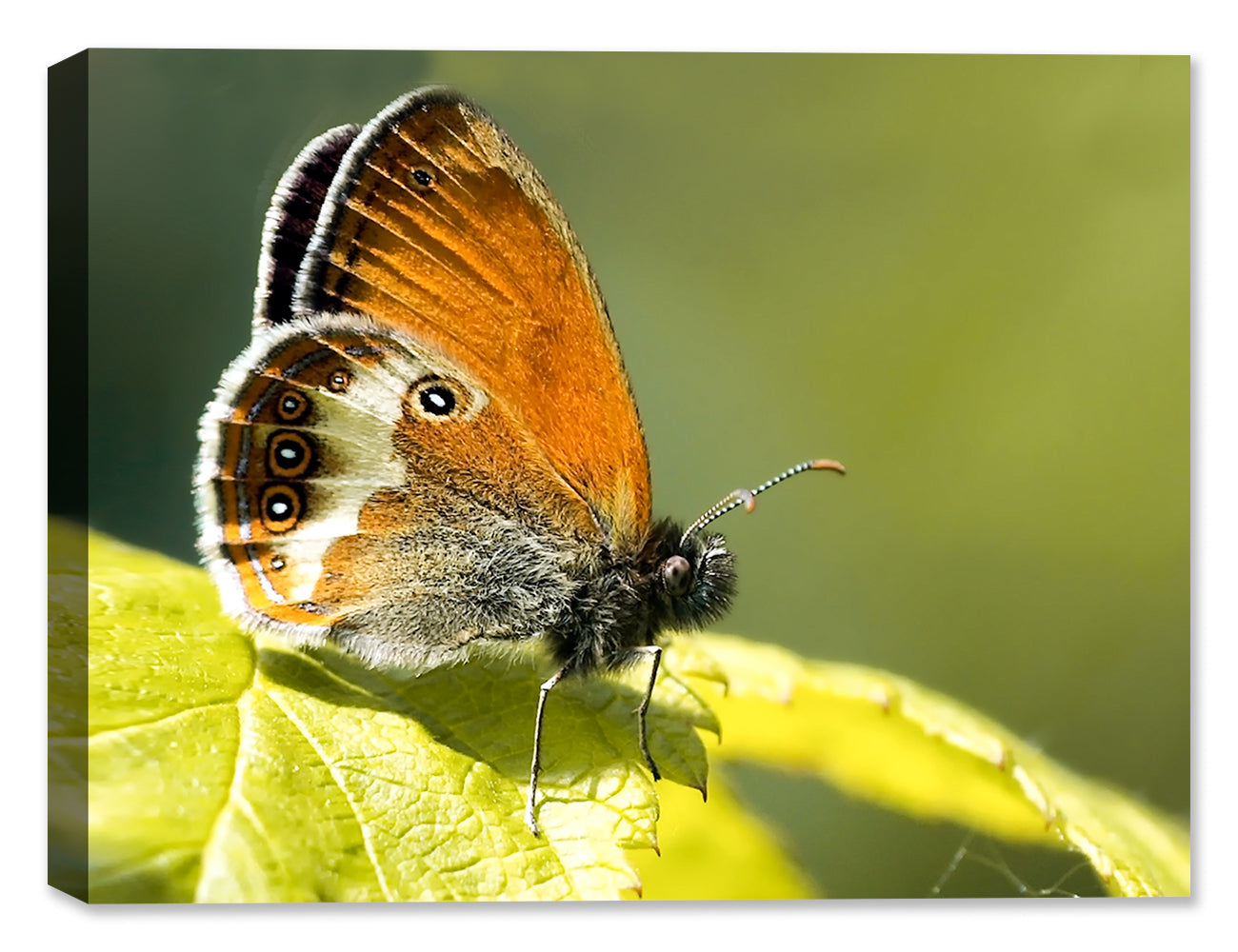 Butterfly Collection of Canvas Wrapped Photography & Canvas Art