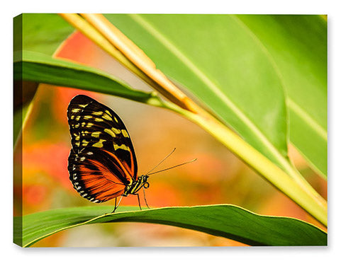 Butterfly Images on Canvas
