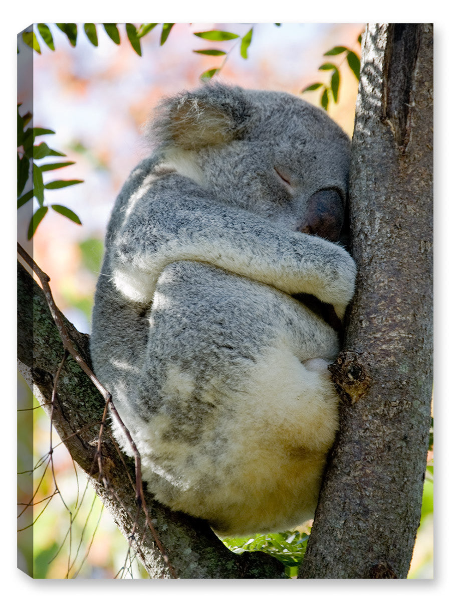 Nap Time Koala Bear - Canvas Art Plus