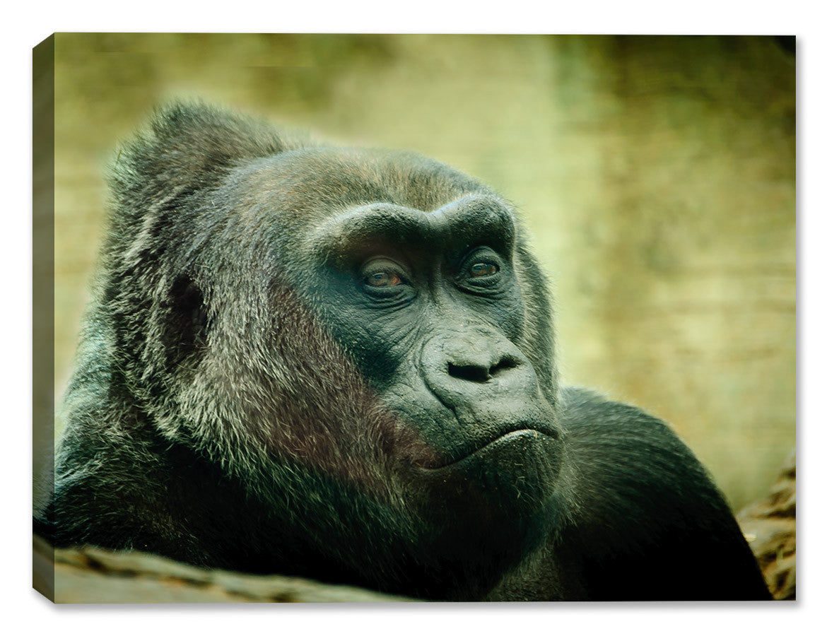 Colo the Gorilla - Fine Art Canvas Print - Canvas Art Plus