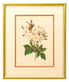 Rosa Noisettiana - Botonical Print - Framed Art