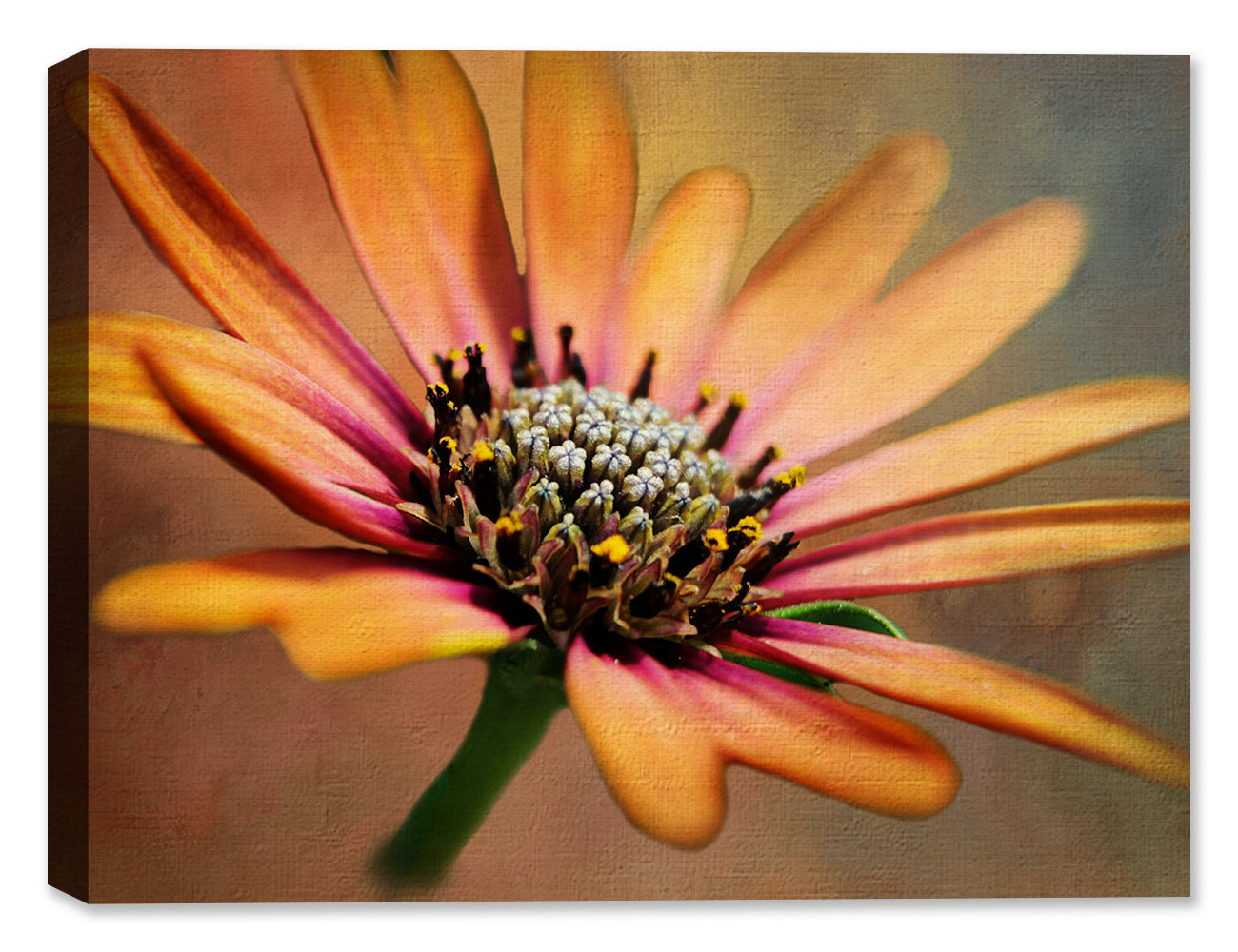 African Daisy - Canvas Art
