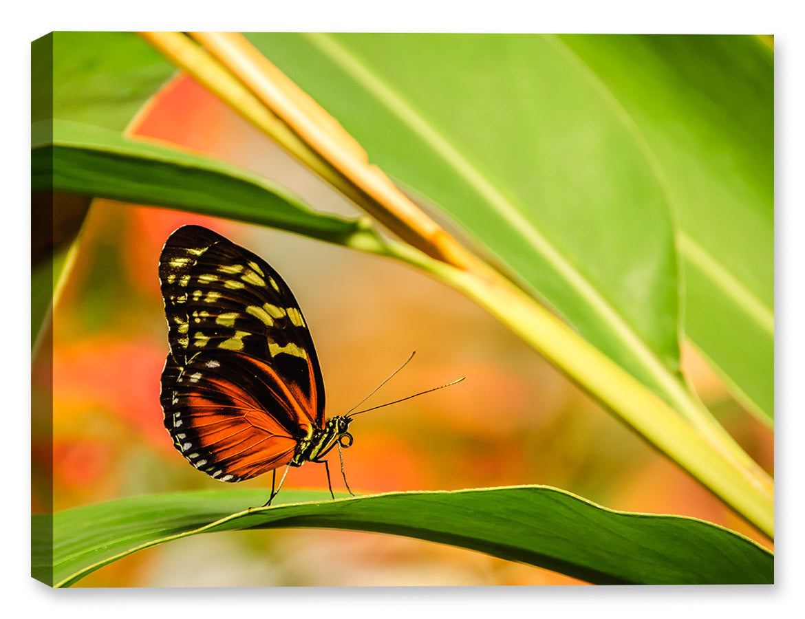 Monarch Butterfly II - Canvas Art Plus