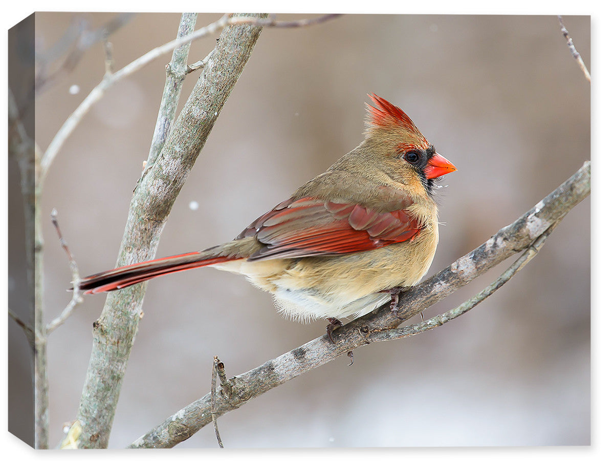 Cardinal - Female on A Branch Winter - Fine Art Canvas Print - Canvas Art Plus