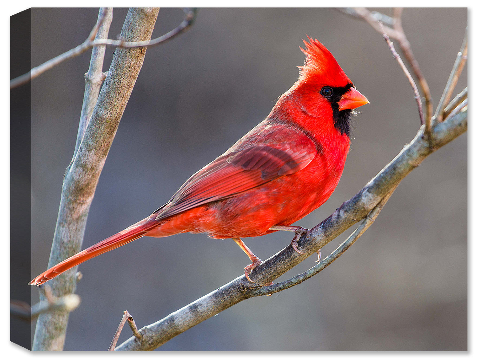 Cardinal Sitting on a Branch - Canvas Art Plus
