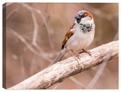 High Res Photo of Male House Sparrow