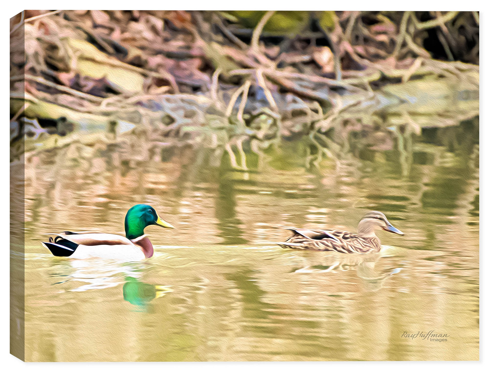 Mallards - Early Morning Swim - Ink on Canvas