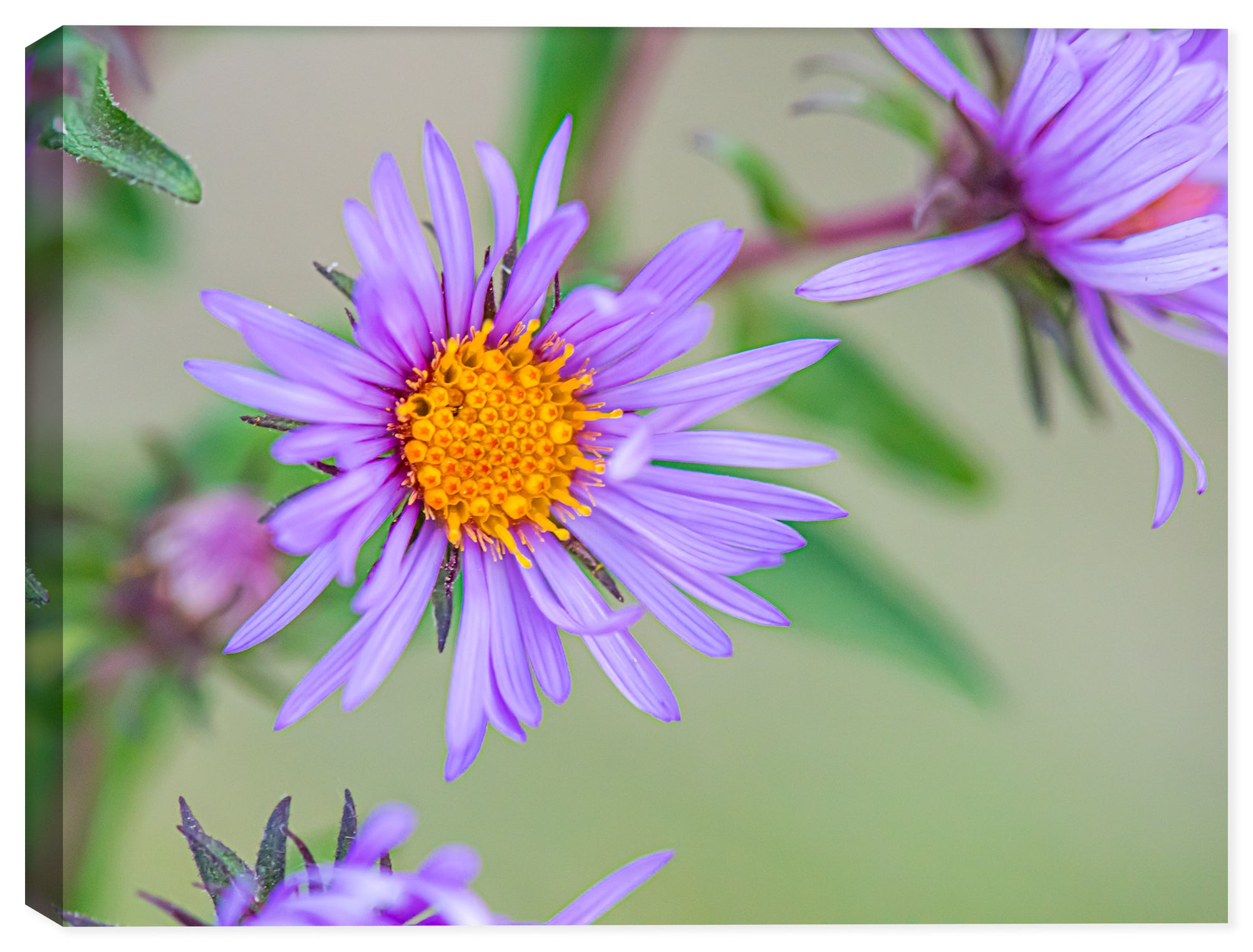 Purple Aster Flower - Ink on Fine Art Canvas