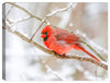 Cardinal - Winter Snow - Photograph