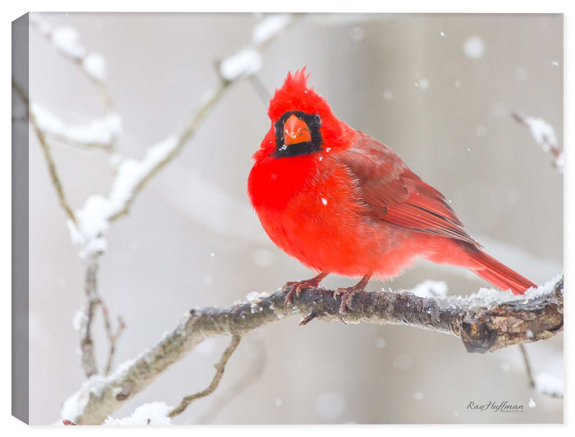 Cardinal #3 - Winter Snow - Photograph