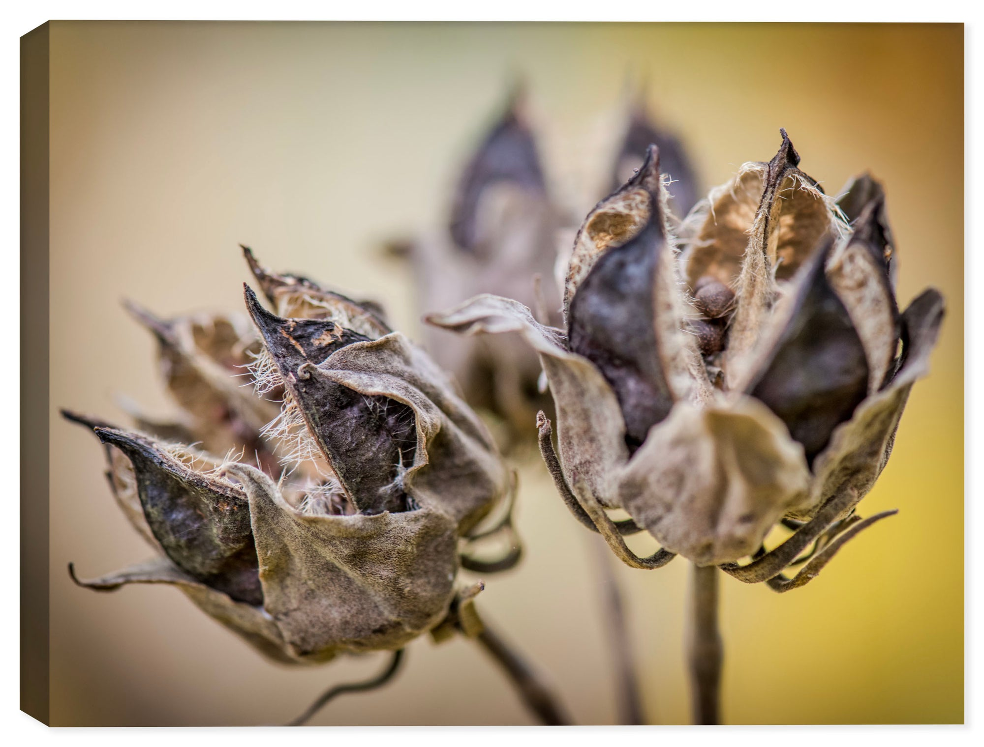 Autumn Pods - Canvas