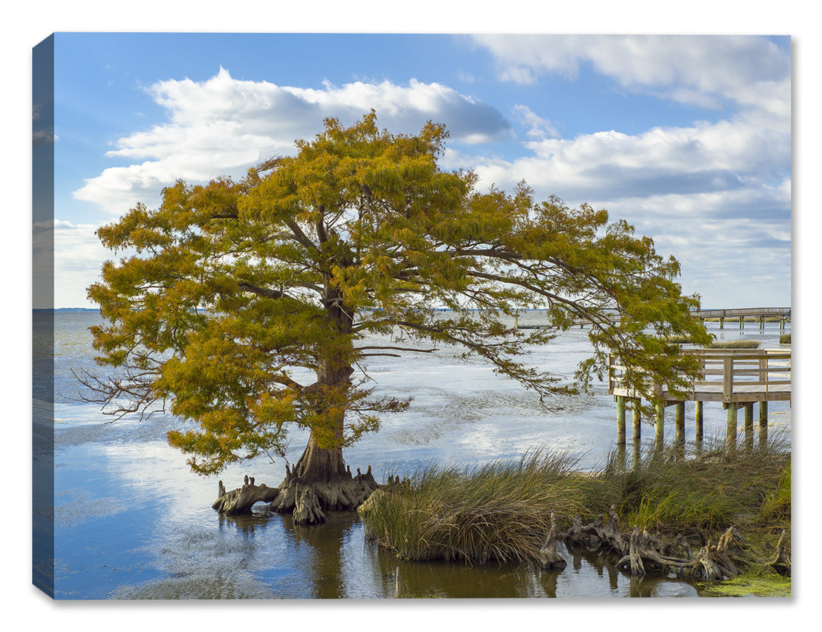 Cypress Tree on the Sound - Canvas Art Print - Canvas Art Plus