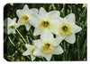 White Dafodils in Garden  - Ink on Fine Art Canvas - Canvas Art Plus