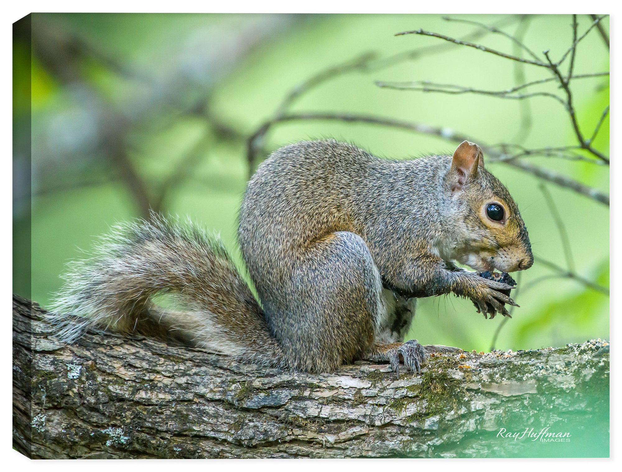 Squirrel - Snack Time - Photo on Canvas