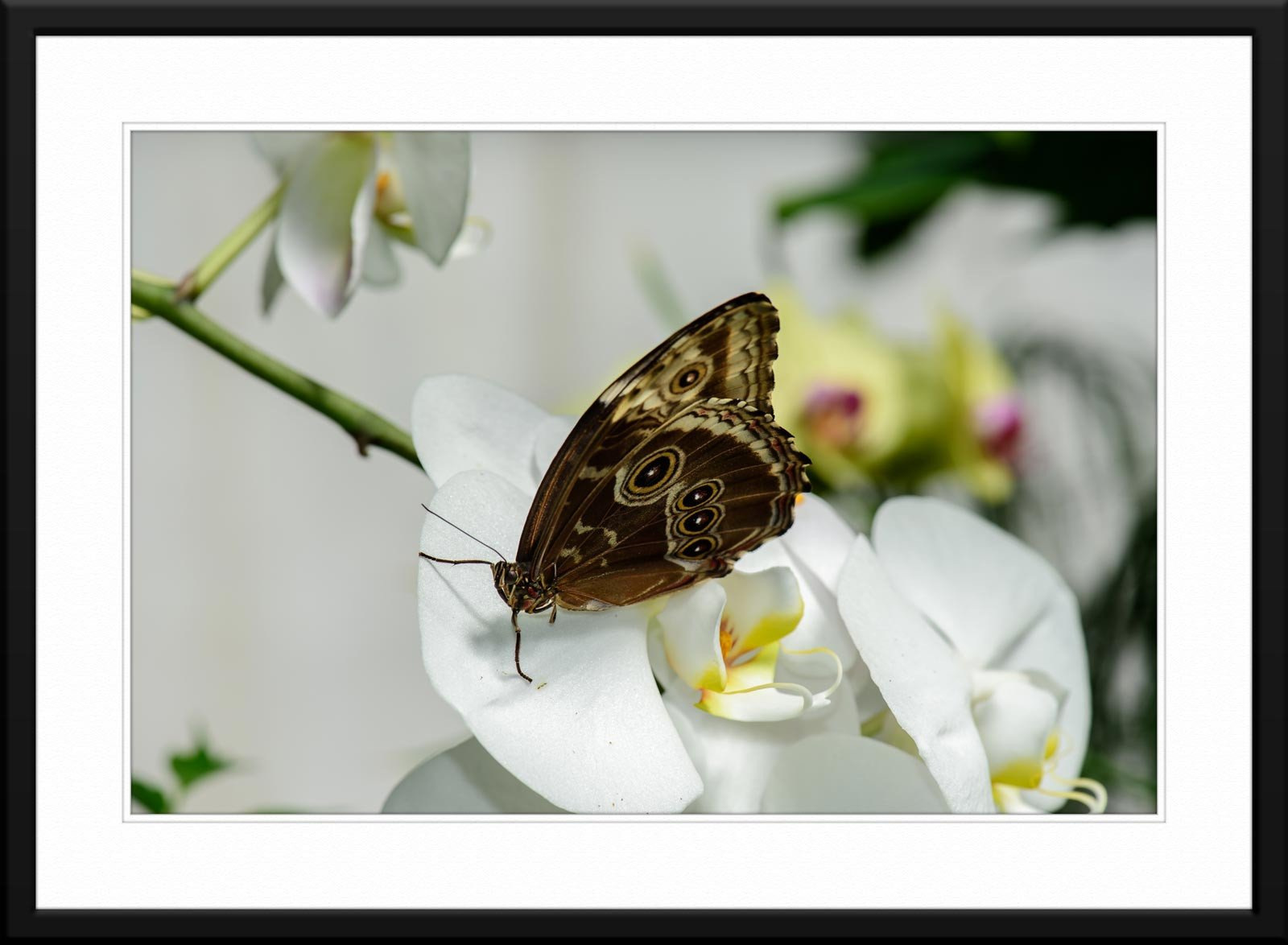 Butterfly & Orchid #2 - Fine Art Photography