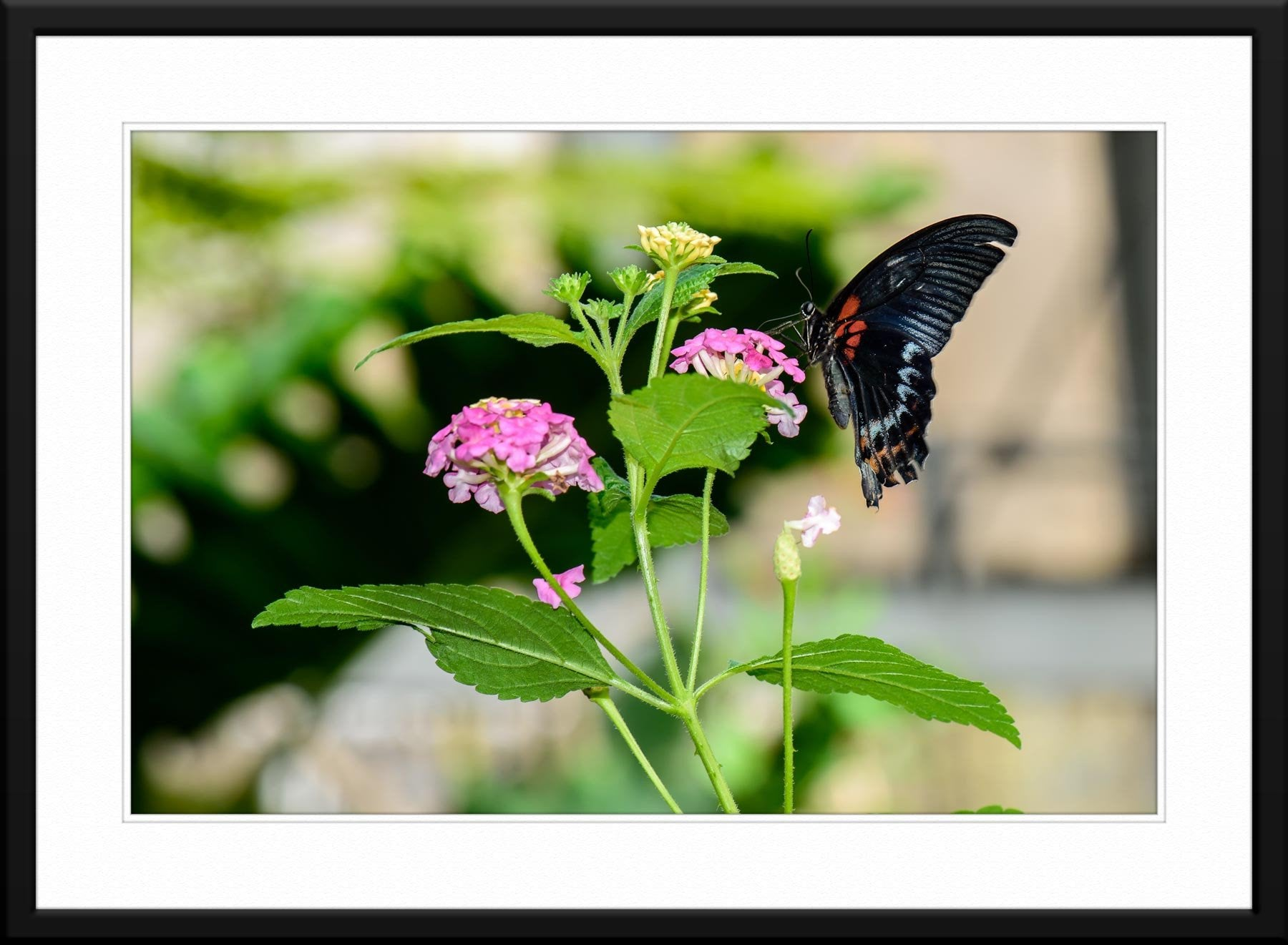 Black Butterfly #6 - Fine Art Photography