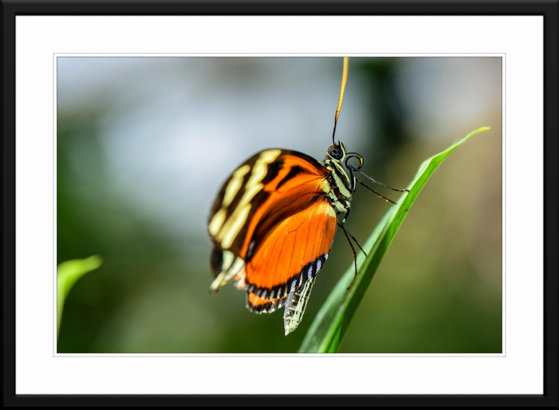 Butterfly #5 - Fine Art Photography