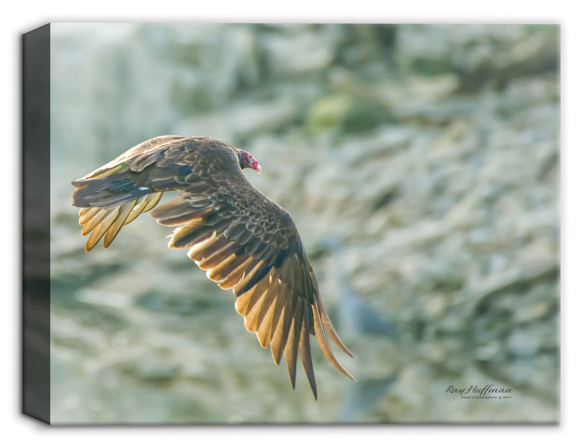 Turkey Vulture on Canvas Photograph