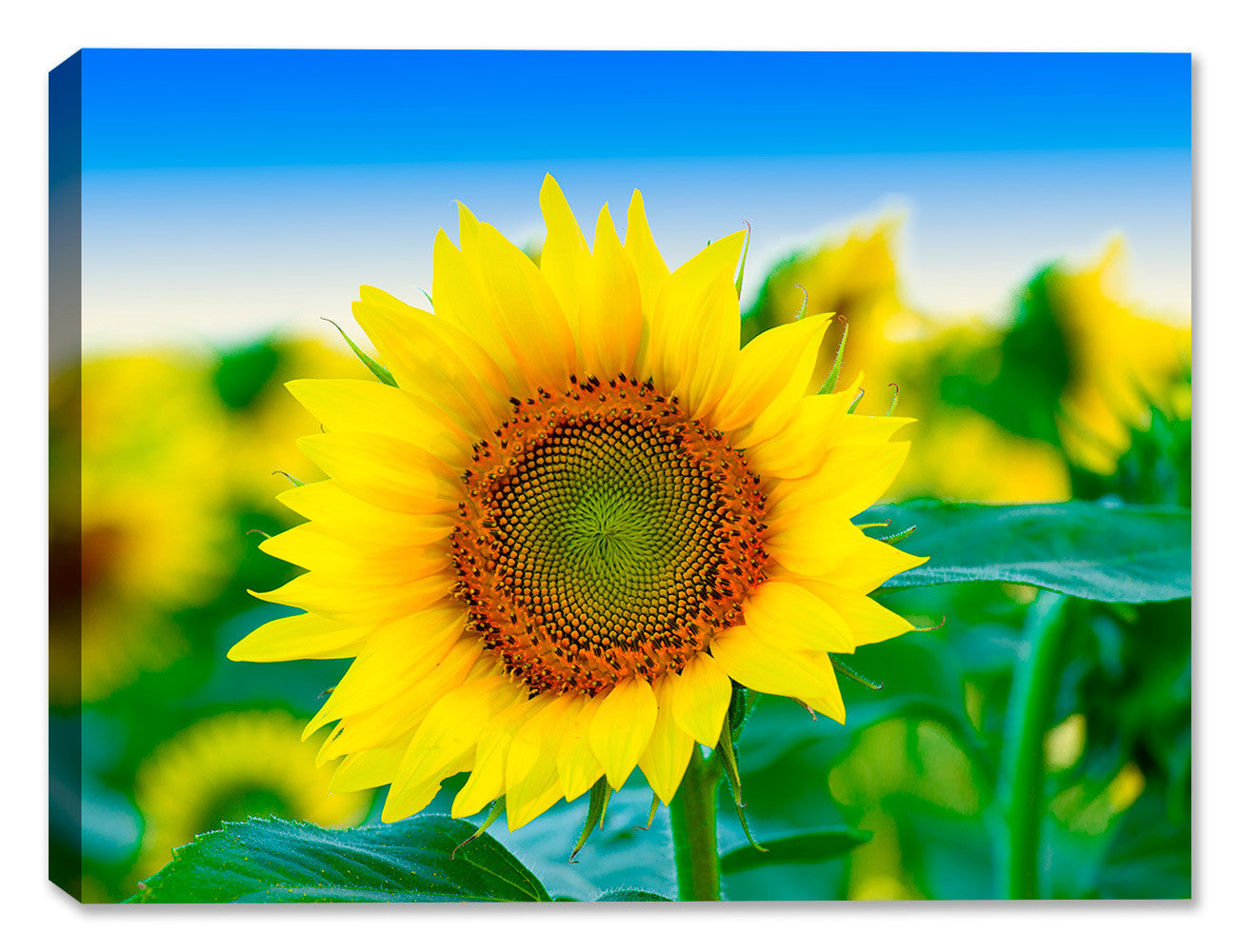 Sunflowers in Field of Flowers - Canvas Art Plus