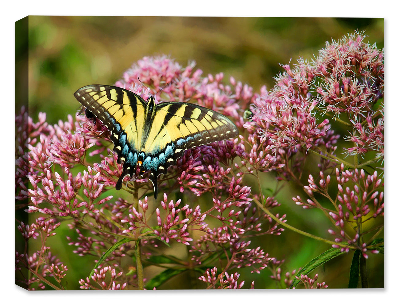 Swallow Tail Laurel Ridge Trail - Canvas Art