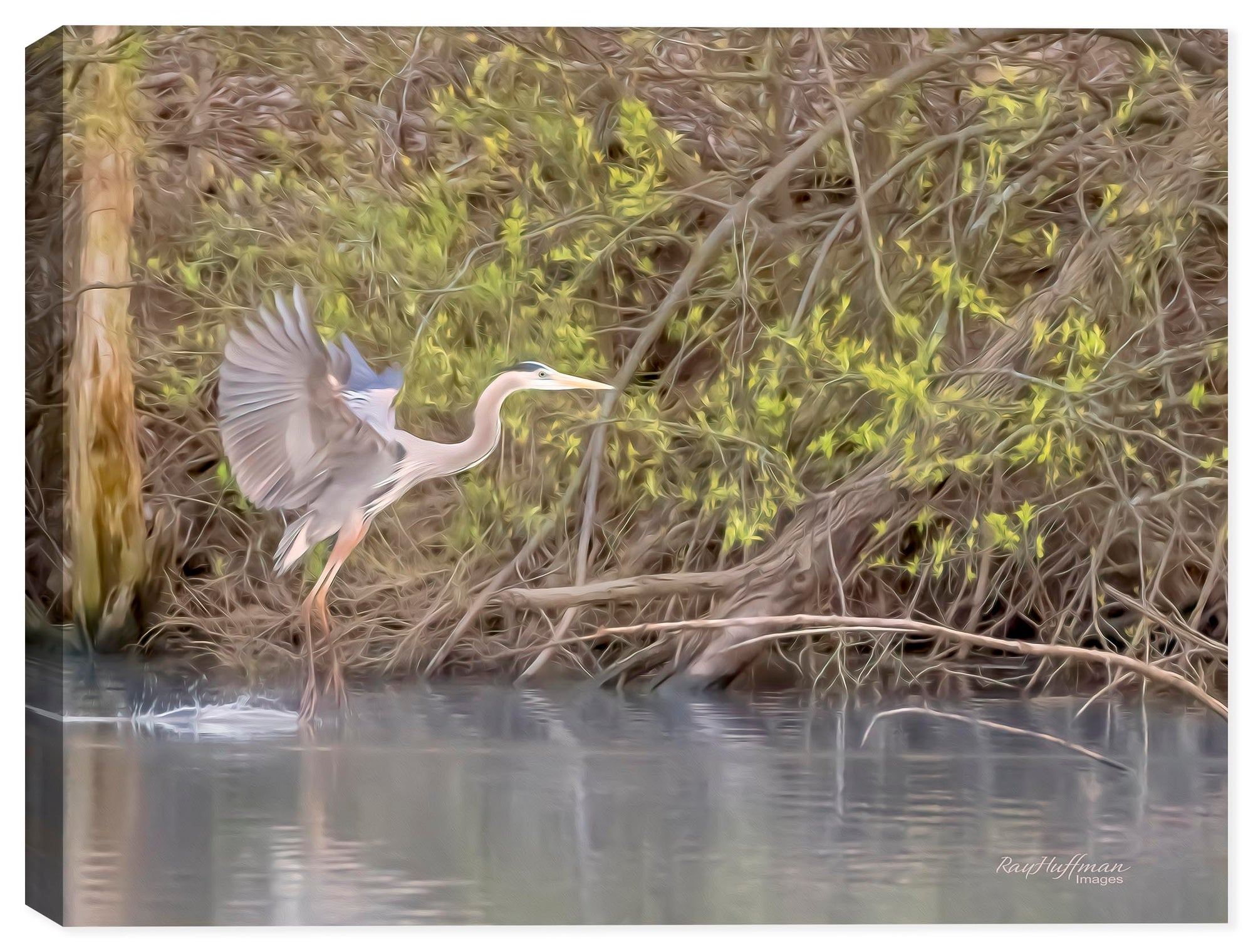 White Egret Landing on Water