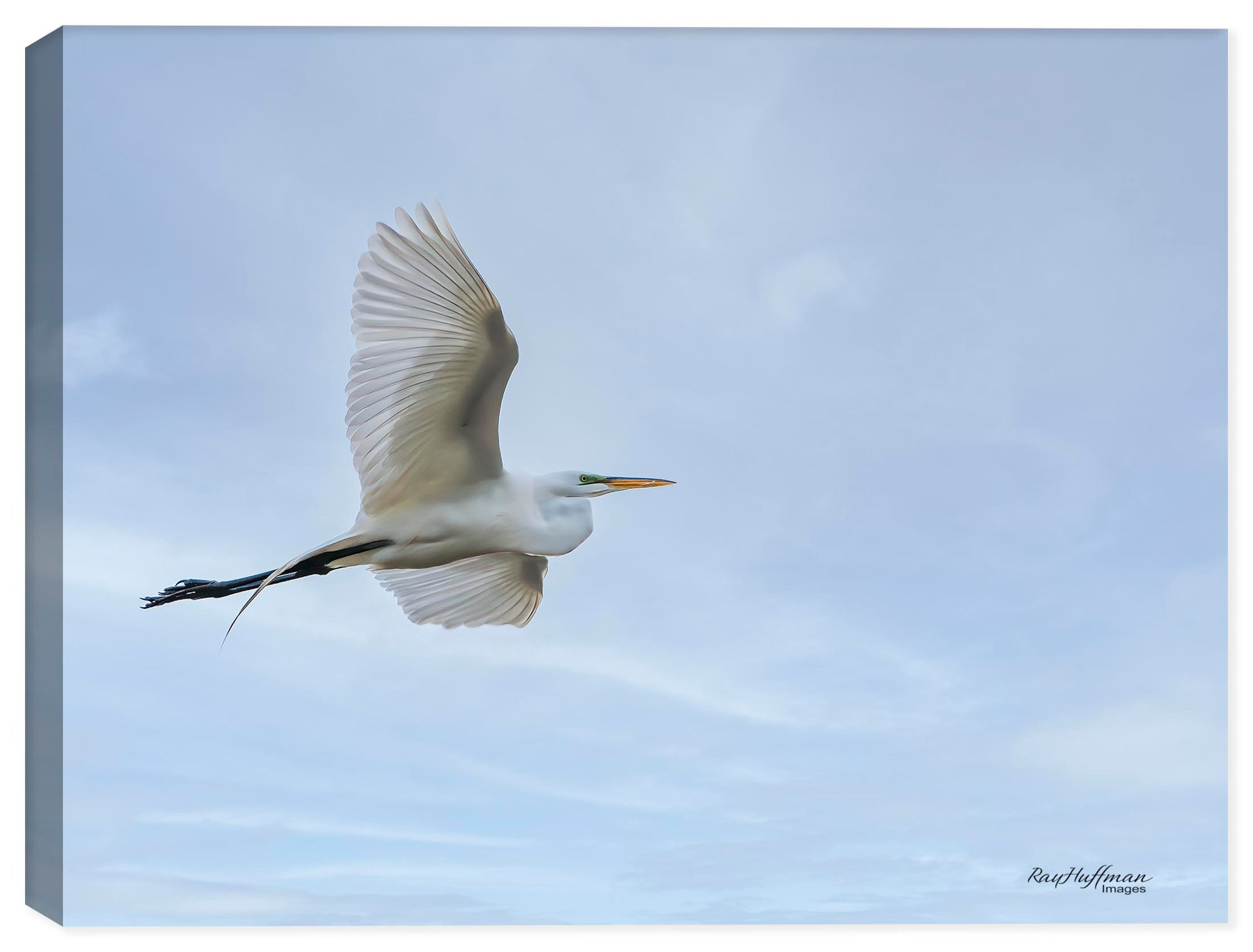 White Egret in Flight - Photo on Canvas