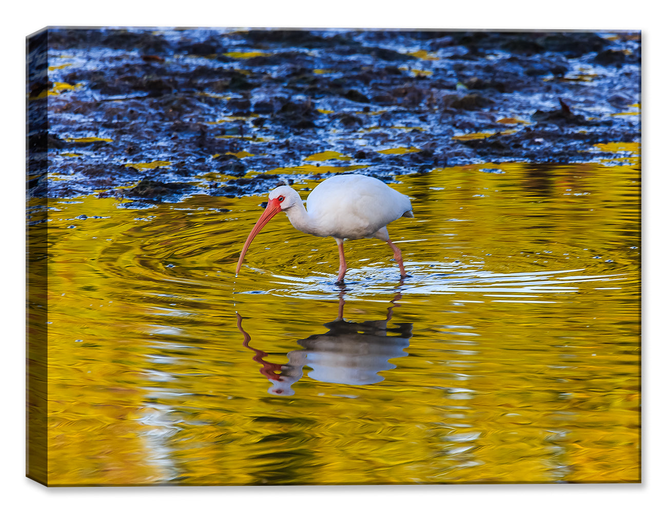 White Ibis - by Garry Wilcox